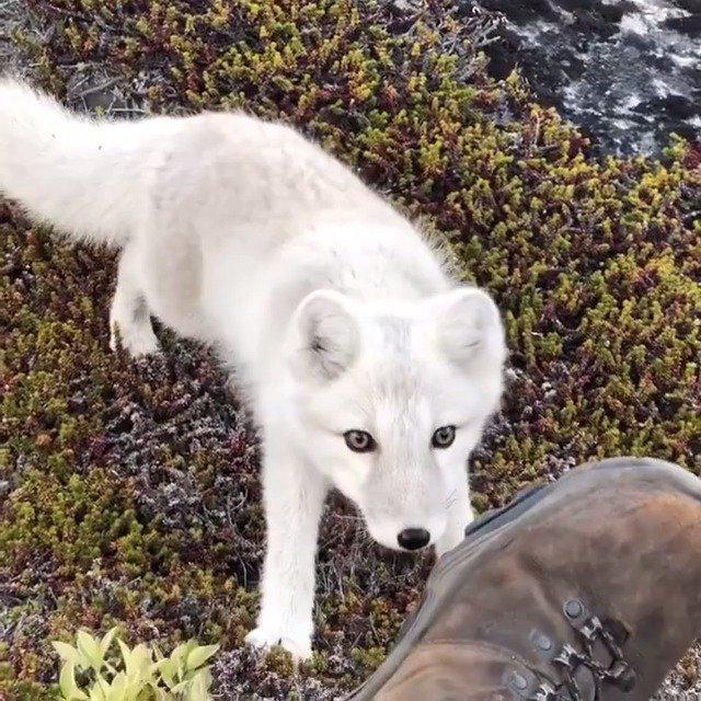 摄影师Stefan Forster在格陵兰岛拍摄野生北极狐宝宝
