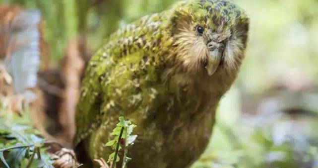 """很像猫头鹰的""""废柴""""鸮鹦鹉:翅膀像是摆设、超长待机、呆萌可爱"""