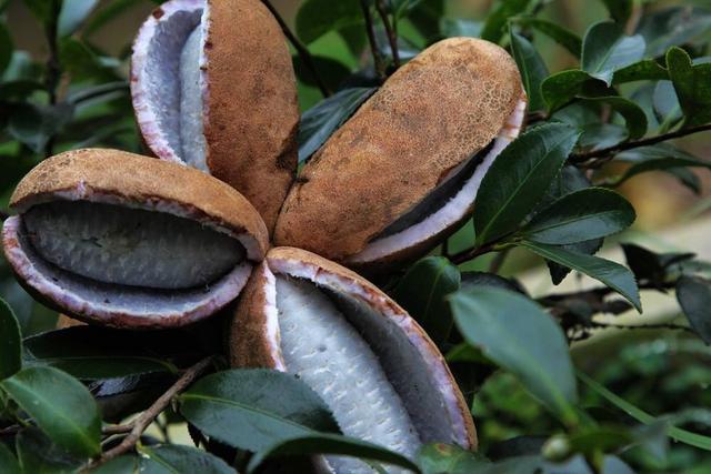 日本备受欢迎的贵族水果,却在中国南方泛滥,烂在地里无人吃