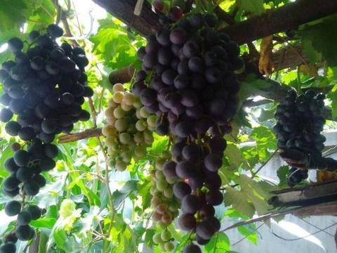 世界上最大的葡萄树,平均每年结1370个果穗一年可收2740千克葡萄