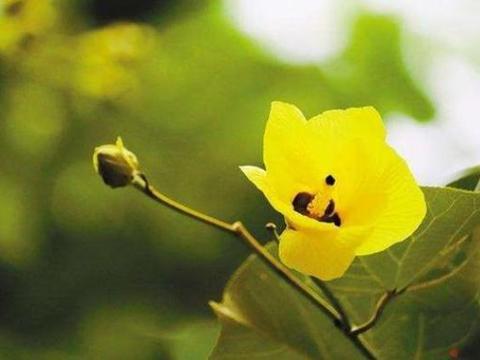 此花就像太阳一样热情奔放,花香若有若无,象征爱的信仰永恒不变