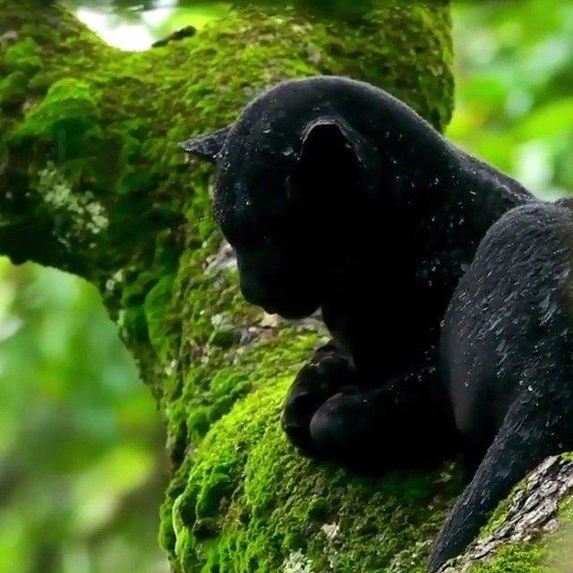 在树上躲雨的黑豹~雨水打湿的暗夜精灵