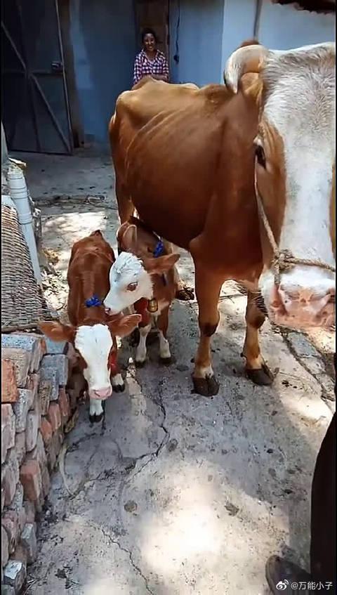 邻居家的牛生了一对双胞胎,这下可把牛妈妈和它的主人骄傲坏了