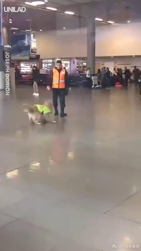 缉毒犬下班后,蹦蹦跳跳催着训犬员一起去打卡,太可爱了