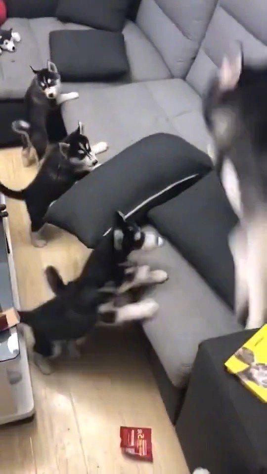 二哈:孩儿们,今天给你们上狗生第一课:拆家