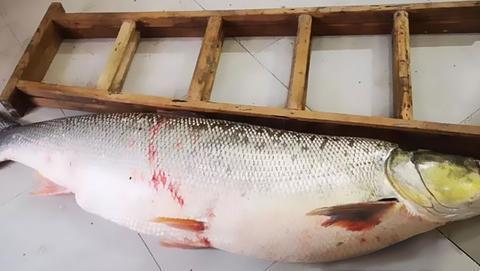 湖北渔民捕获1.68米长104斤重鳡鱼,网友评论:身材不错比我苗条