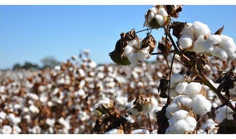 棉花明朝才传入我国,古人之前用啥御寒?一名贵衣物让现代人眼红