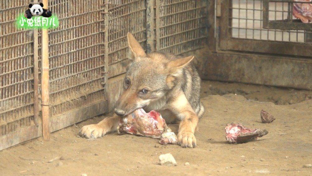 狼爹狼妈和其他小狼都在午休,只有这只在吃独食……