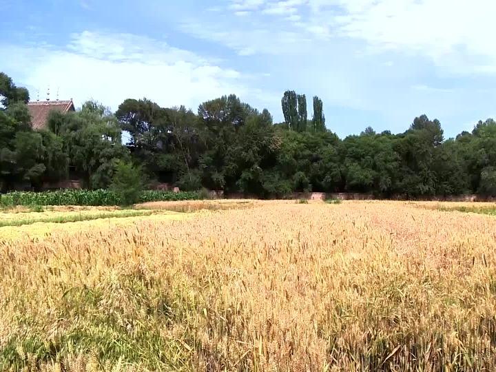 青海:沿黄10万亩冬小麦开镰