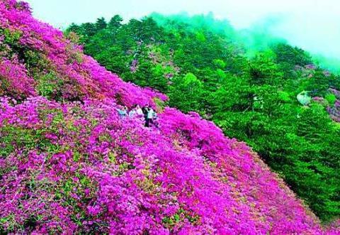 全球最稀有的杜鹃花,目前仅一株,刚在四川省凉山州深山中被发现