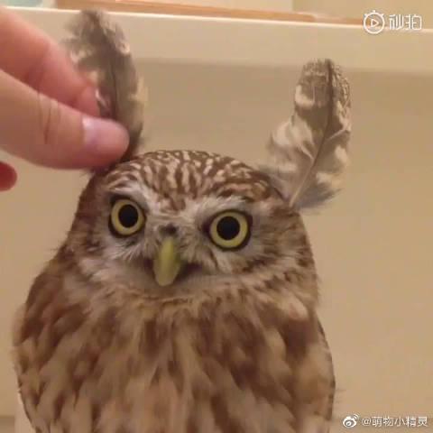 报告,这里有只小可爱模仿雕鸮