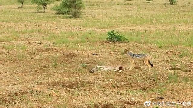 胡狼猎杀奄奄一息的小牛羚,牛羚妈妈也无能为力
