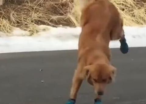 第一次穿鞋的大金毛,仿佛整个世界都在天旋地转,狗狗已经晕了