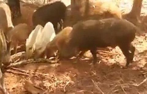 大蟒蛇溜进猪圈吞食幼猪被发现,竟惨遭猪群发狂撕咬分尸让人发毛