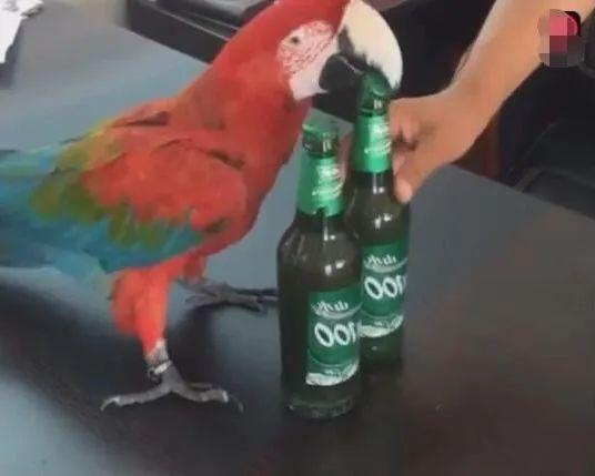 主人本想戒酒,自买这只鹦鹉后,喝酒每天停不下来!
