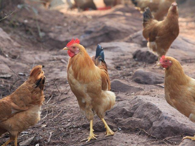 男子家一只鸡光吃不长肉,决定杀了炖汤,却从体内取出250万宝贝