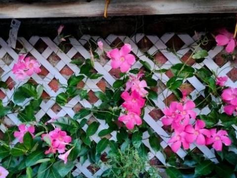 """养飘香藤要让它""""吃饱"""",做到""""三不缺"""",365天都能不断开花"""