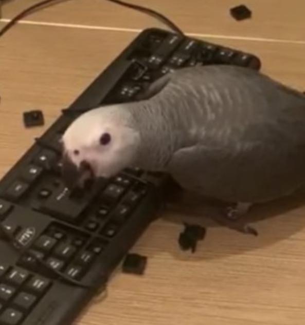 好心把鹦鹉放出来玩,它却狂拆键盘,主人气炸:你是哈士奇吗?