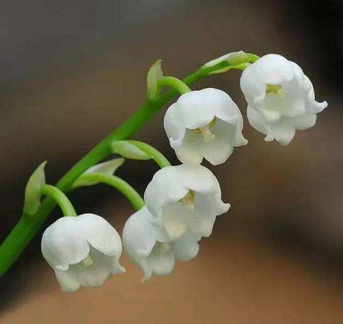 此花绽放时,散发着沁人心脾的花香,寓意为等待爱情的到来
