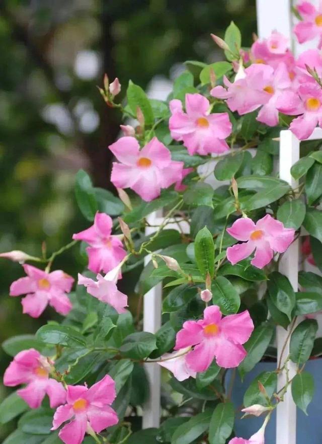 一种热带花叫飘香藤,种在室内也很好活,短时间就能开出满树花