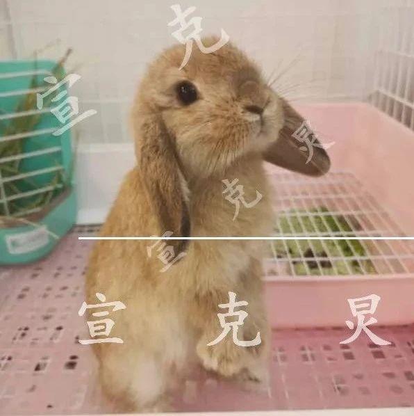 上海女孩痛哭求归还!寄养的垂耳兔被错卖,买家拉黑拒绝沟通