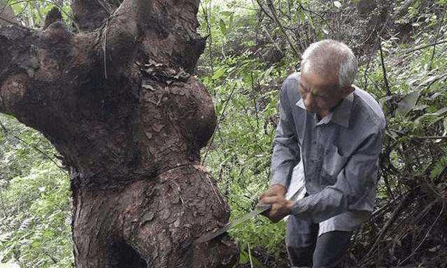百年老树被大叔砍掉, 众人疑惑不解, 大叔说树里藏有宝贝