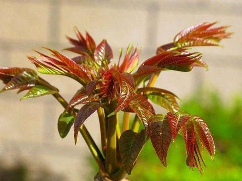 春天必吃的那一口香椿芽,你可得小心着点它的亚硝酸盐