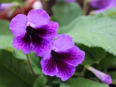 花卉植物海角樱草的养护方法