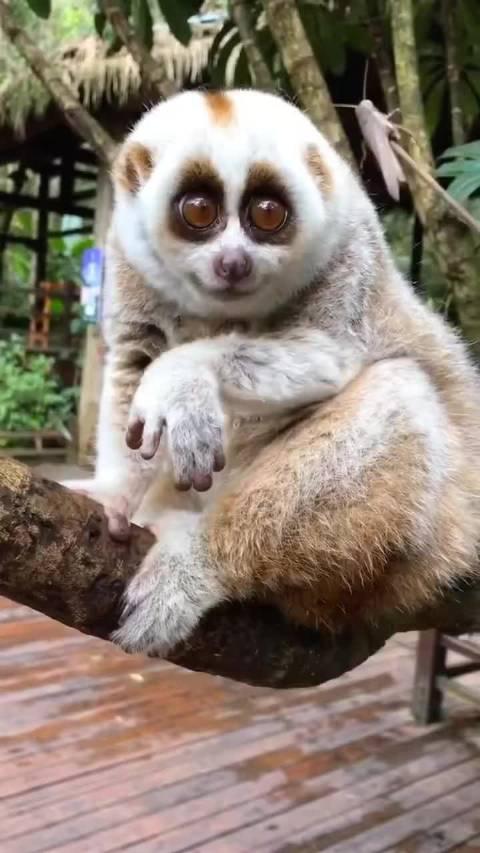 眼睛溜圆呆萌的眼镜猴