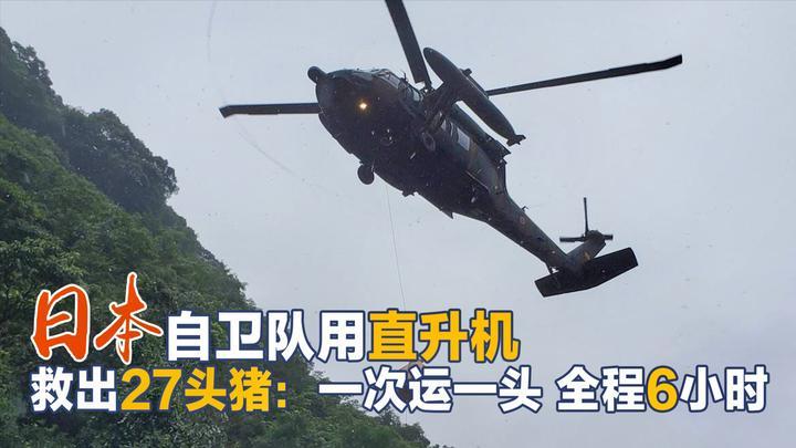 日本出动军机耗时6小时救27头猪,每次1头!日媒:这批猪非常贵重