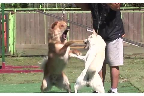 """白狗和黄狗见面就打架,主人崩溃了:""""你们是亲父子啊!"""""""