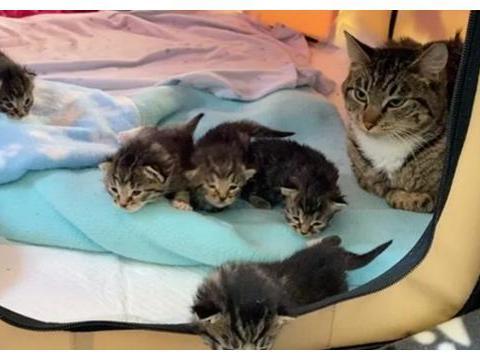 女子捡到3只小猫,带回去后让家猫照顾,主子不情愿的样子很好笑