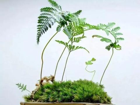 极其耐阴的几种观赏蕨类植物,教你几个养护的秘诀,避免叶黄干尖