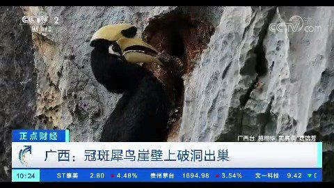 我国首次拍到冠斑犀鸟破洞出巢全过程