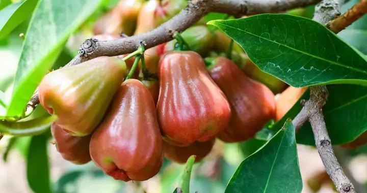 """长相酷似柿子椒的南方""""水果皇帝""""现身北京,这种水果到底是啥?"""