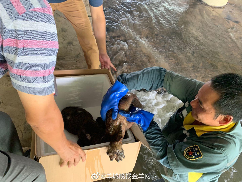 广州河涌惊现娃娃鱼,来源不明已送野生动物保护站