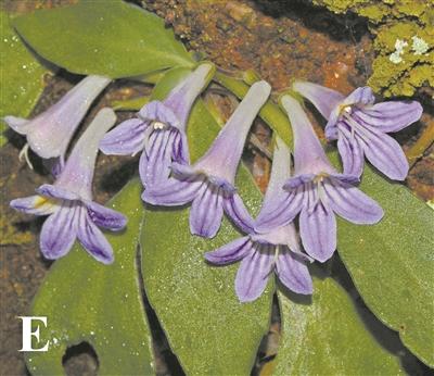 丹霞山再现植物新物种