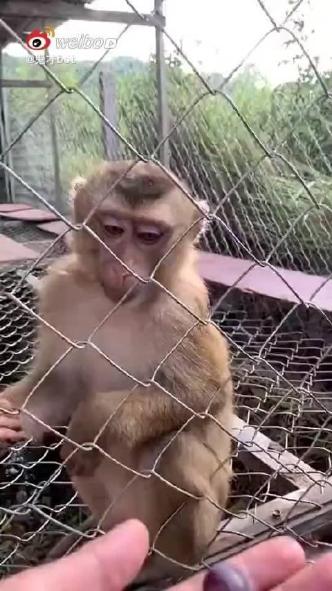 为啥我喂的小猴,第一个动作都是抓我眼镜