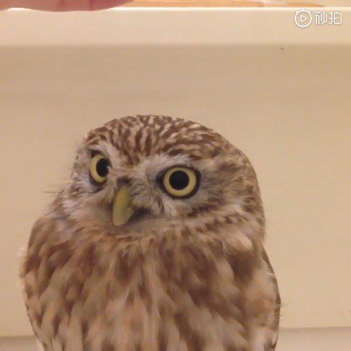 报告,这里有只小可爱模仿雕鸮(^_-)~
