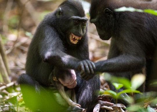 猕猴妈妈紧抱猴宝宝尸体两天:给猴宝宝梳理毛发、喂奶!
