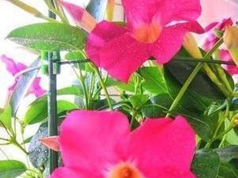 飘香藤不开花?改掉3个臭毛病,四季开花不断,越开越旺花瀑布