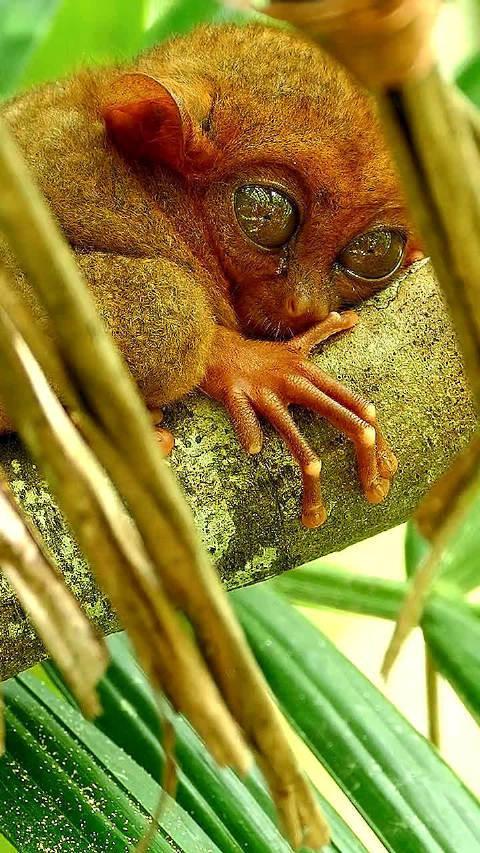 眼镜猴,重3两,长9公分。看他的眼睛你想到了啥?