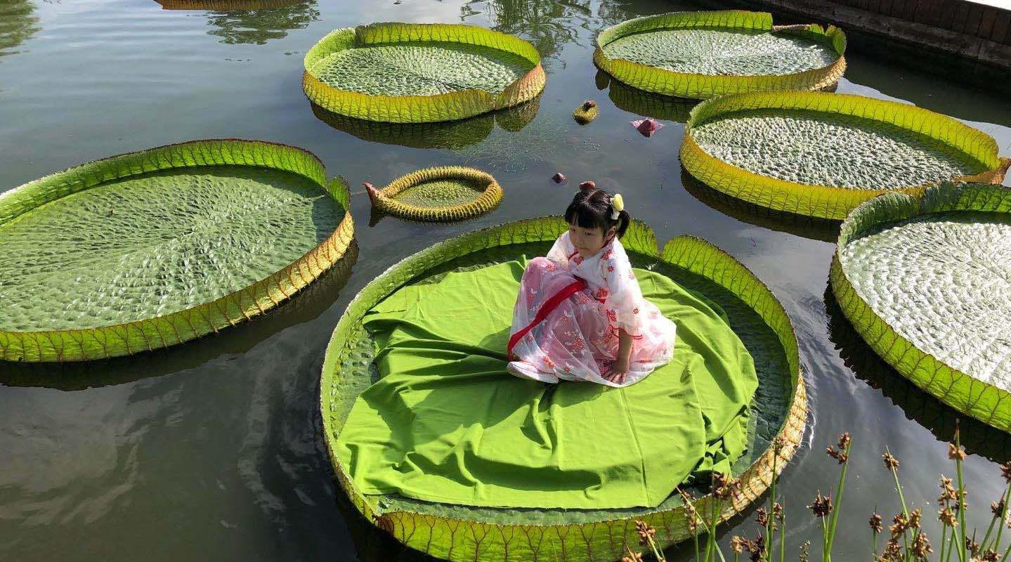 西安植物园王莲上坐着小朋友 水中大力士可托起70公斤物品