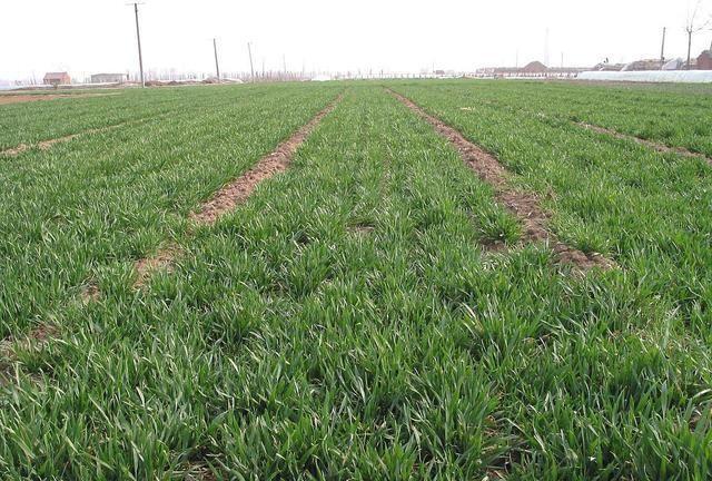 西农511小麦品种在旱地能种吗?