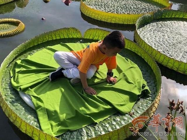 西安植物园王莲上可坐小朋友 水中大力士能托起70公斤物品