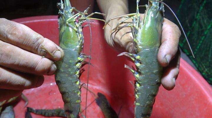 小池在荒废鱼塘装下地笼,又网到大角虾,还有两只青蟹,收获不错