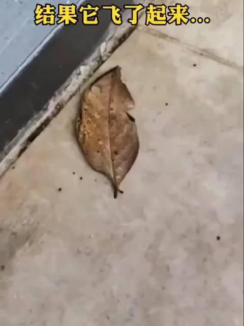 枯叶蛱蝶,以前后翅相叠其翅形及斑纹似枯叶而著称