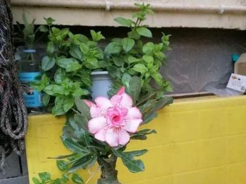 三伏天温度高,植物需多浇水?君子兰、发财树、蟹爪兰旱养更好