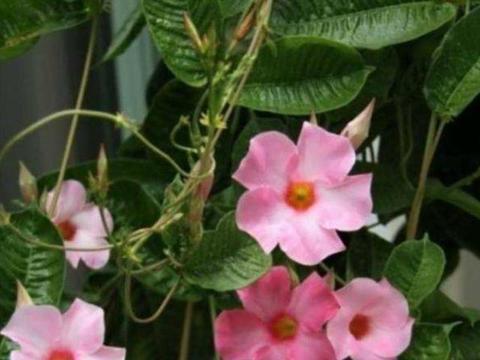 飘香藤与红蝉花,同科又同属,相似度太高,别买错了