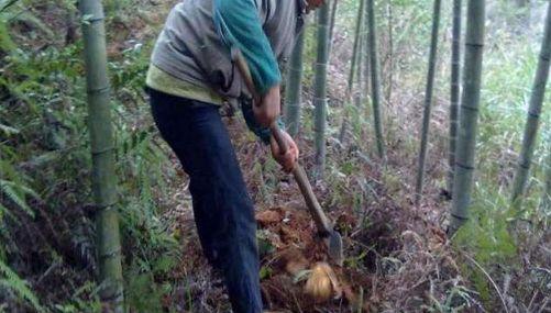 农村大爷竹林里挖到宝贝, 高兴的连竹笋都不要了!